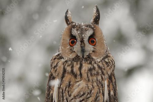 canvas print picture Waldohreule im Winter bei Schneefall