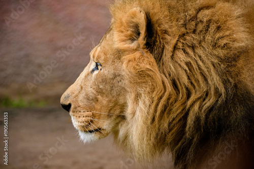 Fotobehang Lion Lion Profile