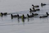 Grupo de aves fochas (fulica atra) en el mar comiendo algas - 190573359