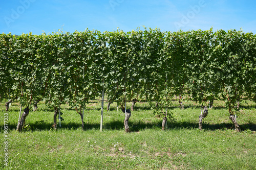 Foto op Canvas Pistache Vineyard, vine plants and blue sky in a sunny day