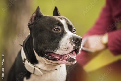 Pit Bull Terrier portrait on nature