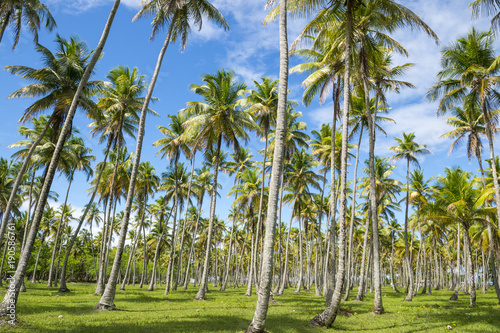 Foto op Canvas Pistache Scenic view of palm grove plantation on the tropical coast of Bahia, Brazil