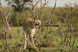 a single cheetah yawns as she leaves her resting place among the shrubs of the Maasai Mara