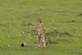 single cheetah sitting on the grass on the savannah of the Maasai Mara, Kenya