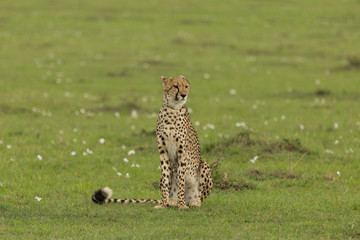 single cheetah sitting on the grass on the savannah of the Maasai Mara, Kenya