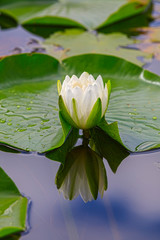 blossom of a white water lily