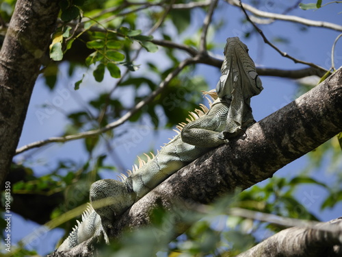 Fotobehang Kameleon Leguan im Baum