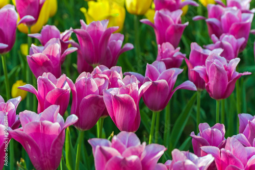 Fotobehang Tulpen Tulip field Spring time flower garden, nature background.