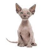Kitten Lykoi cat, 7 weeks old, also called the Werewolf cat sitt