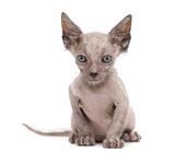 Kitten Lykoi cat, 7 weeks old, also called the Werewolf cat port