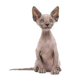 Kitten Lykoi cat, 7 weeks old, also called the Werewolf cat look