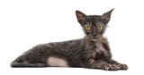 Kitten Lykoi cat, 3 months old, also called the Werewolf cat lying against white background