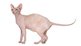Sphynx, 4 years old, against white background