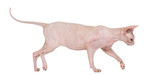 Sphynx, 4 years old, walking against white background