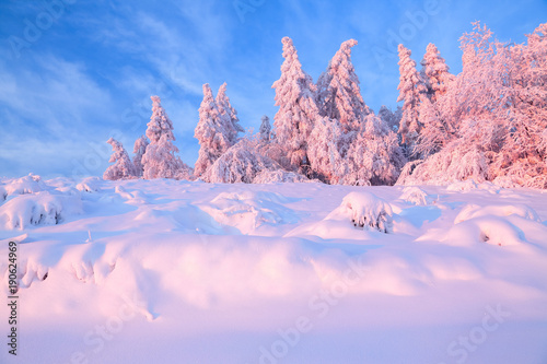 Aluminium Purper Nice twisted trees covered with thick snow layer enlighten rose colored sunset in beautiful winter day. Unbelievable scene with snow covered forests.
