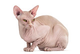 Sphynx Hairless Cat, 4 years old, sitting against white background