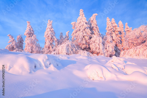 Aluminium Lichtroze From the snow covered lawn there is a view to nice trees covered by frost and snow. Light pink sun rays of sunset enlighten sky and trees. Magic winter landscape.