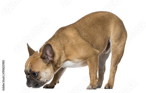 Deurstickers Franse bulldog French Bulldog sniffing ground against white background