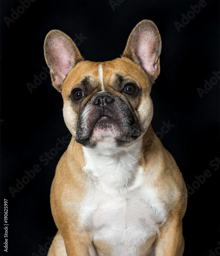 Canvas Franse bulldog French Bulldog in portrait against black background