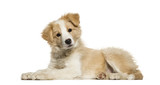 Border Collie Puppy Lying Against   Wall Sticker