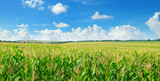 Fototapety Green corn field and blue sky. Wide photo.