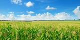 Fototapety Green corn field and blue sky. Wide photo.