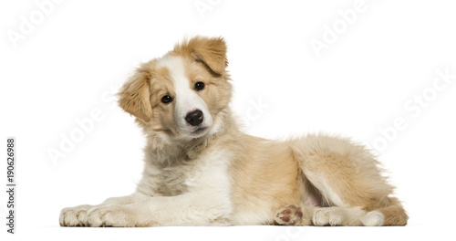 Border Collie puppy lying against white background