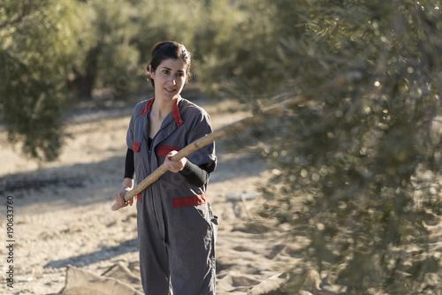 workers collecting olive oil in jaen, Spain. Black olives harve