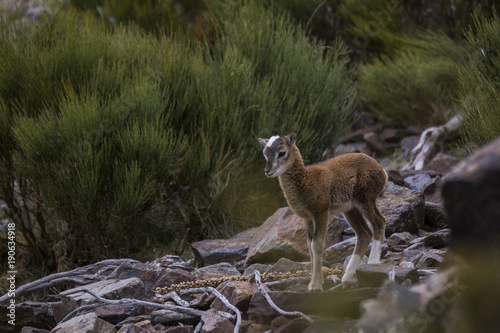 Fotobehang Kangoeroe Muflones en los Pirineos