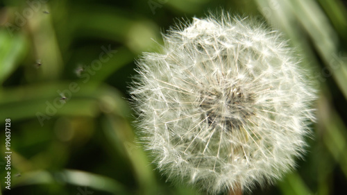 Fotobehang Paardenbloemen Dandelion Seed Head ,on blurry background,macro close-up. Dandelions, dandelion meadow, white flowers in green grass.