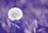 Blurred selective focus of white dandelion on ultra violet background trend year color space for text nature toned purple