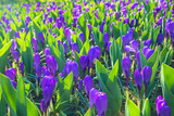 The first spring flowers crocus. Spring floral background. - 190640382