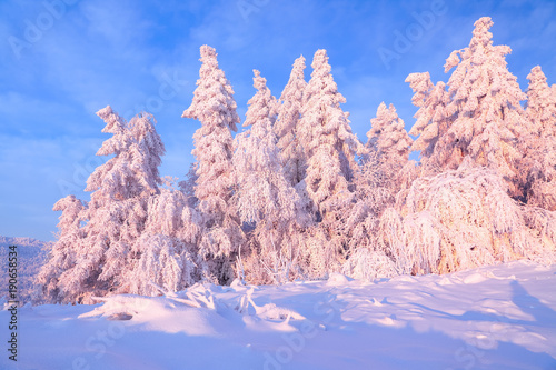 Foto op Aluminium Lichtroze Nice twisted trees covered with thick snow layer enlighten rose colored sunset in beautiful winter day. Unbelievable scene with snow covered forests.