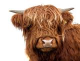 Scottish cow on white background isolated - 190671764