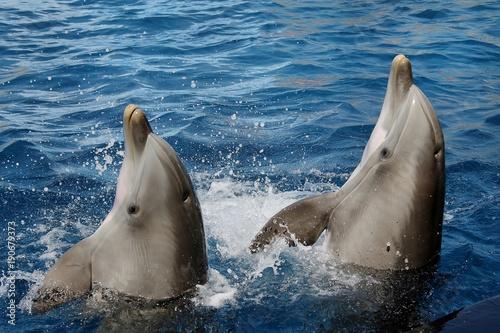 Fotobehang Dolfijn Coppia di delfini