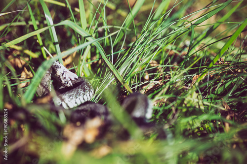 Deurstickers Gras Grass snake (Natrix natrix) bite self, called the ringed snake or water snake, is a Eurasian non-venomous snake.