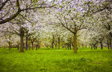blooming apple trees in the hills of Petrin in Prague in spring blurred  - 190692926