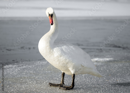 Aluminium Zwaan white swan in winter standing on ice