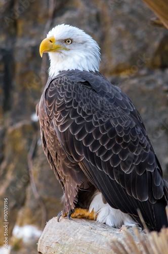 Fotobehang Eagle Portrait of a Bald Eagle