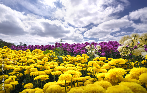 Tuinposter Meloen Yellow daisy flower field blooming in spring morning with blue cloudy sky background beautifully in the highlands
