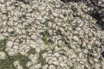 Wild oysters attached to the rock at low tide .