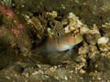 Randall's Shrimp Goby