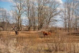 Early spring. Grazing on Pacbase emaciated during winter horses.