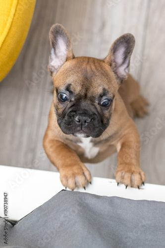 Foto op Plexiglas Franse bulldog Bulldog francuski w domu