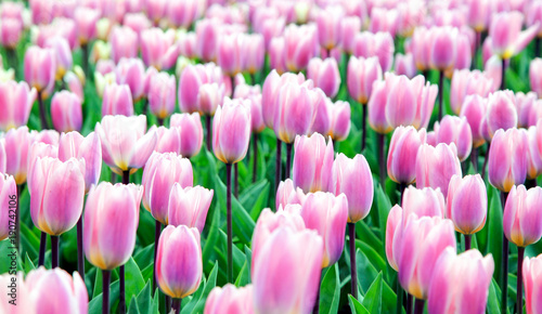 Fotobehang Tulpen Colorfu pinkl tulips in the garden. Kekenhof - Netherlands