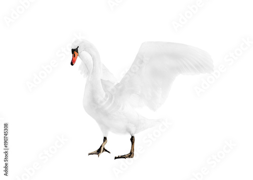 Fotobehang Zwaan white swan isolated on white background