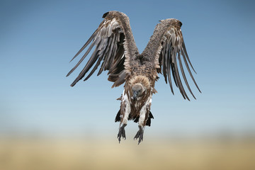 White backed vulture in flight in the Masai Mara