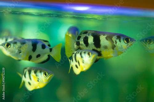 Tiger fish swimming in fresh water in aquarium.