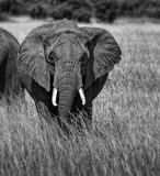 ELEPHANT D'AFRIQUE MONOCHROME - 190761956