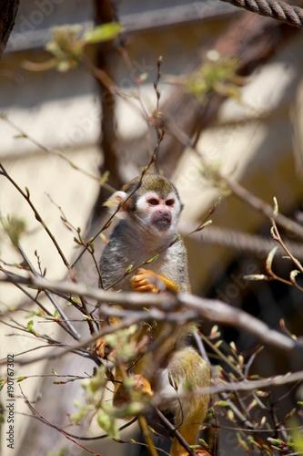 Fotobehang Aap Totenkopfäffchen beim Klettern in Bäumen
